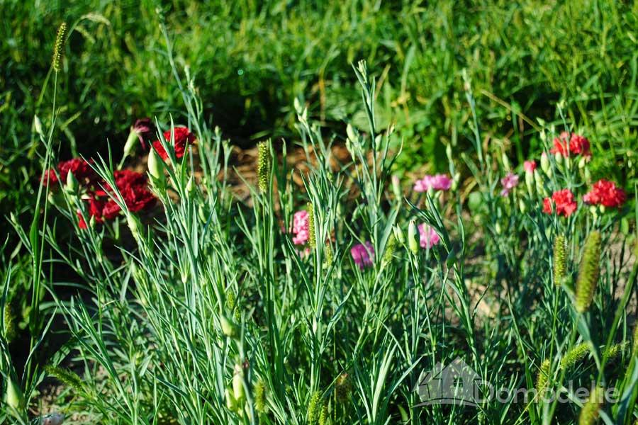 выращивание гвоздики шабо из семян