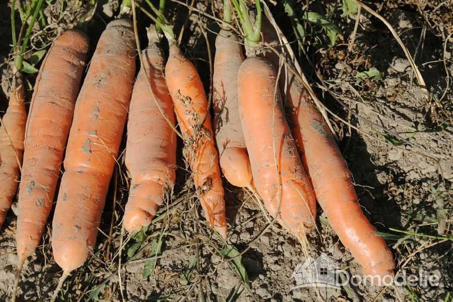 чаще всего проводится посадка моркови весной