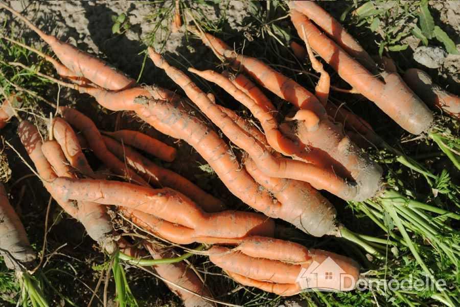 необходимость поливать морковь