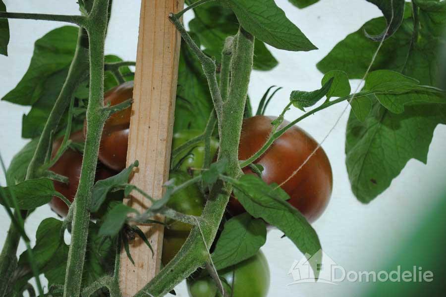помидоры груша на дачном участке