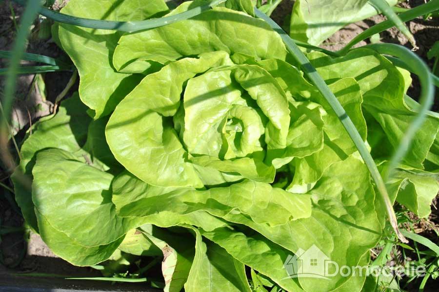 какой салат посадить на даче