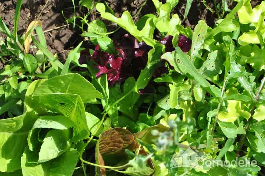 Салат из смеси салатов