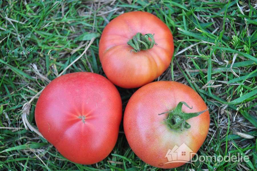 томат розовая андромеда