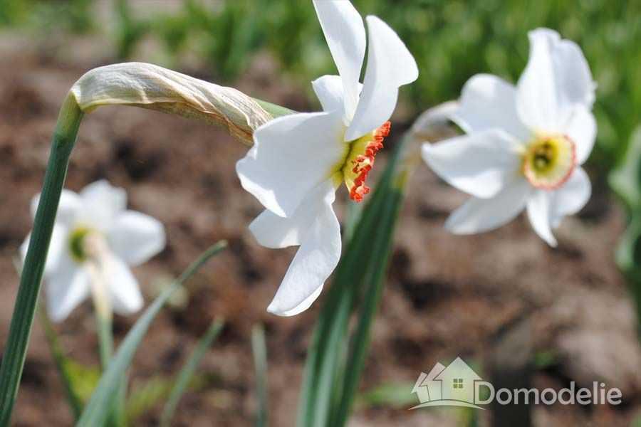 цветы нарциссы, луковицы нарциссов