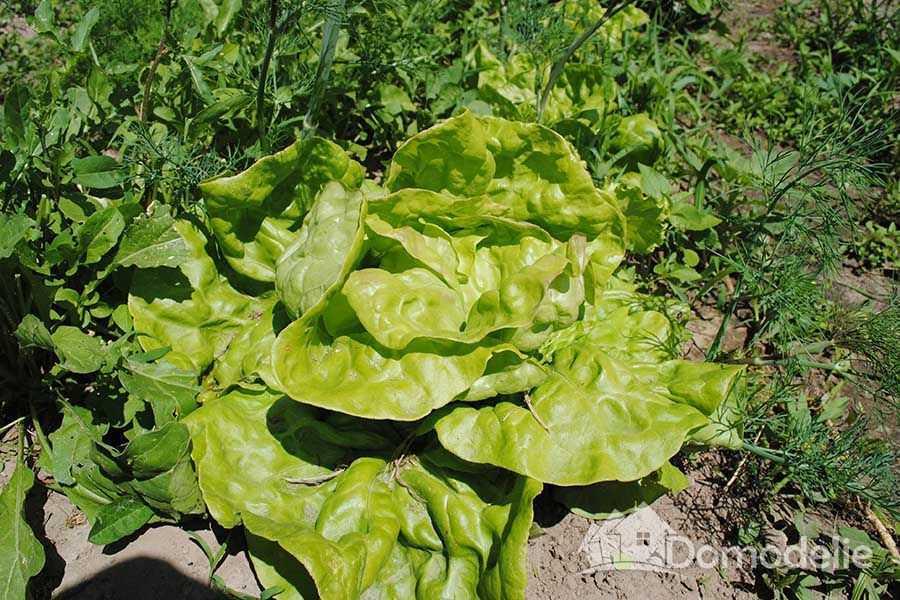 Зеленные культуры в теплице