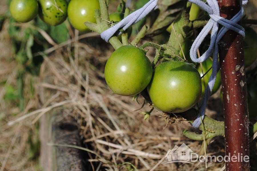 Классификация видов, групп и сортов томатов