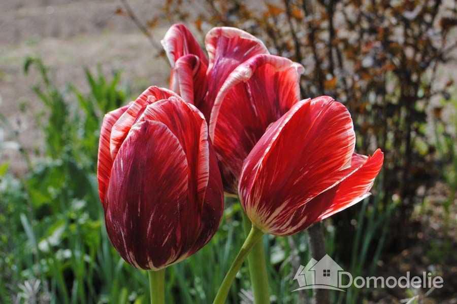 Когда пересаживать тюльпаны