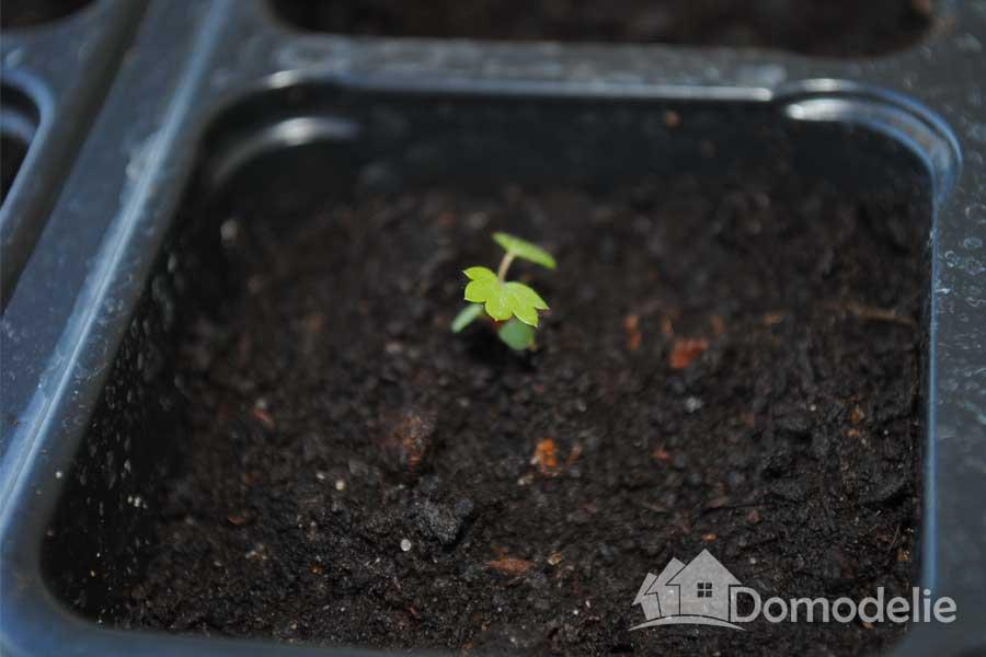 Рассада помидор - выращивание из 35