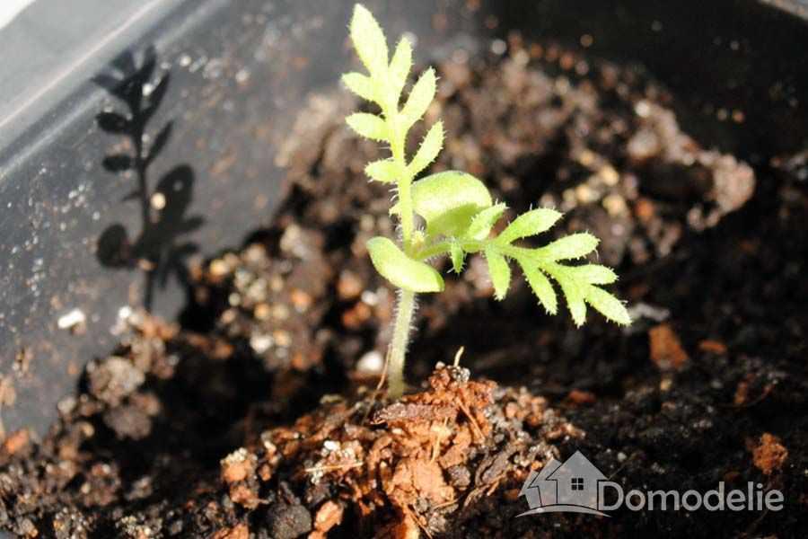 Как и когда сажать семена лаванды 422